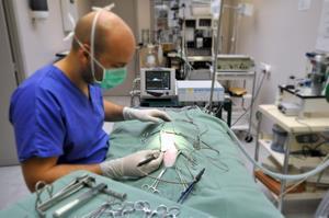 Ovario-hystérectomie de chienne