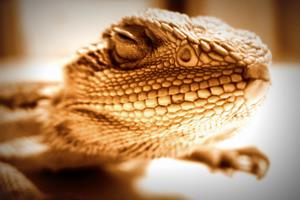 Reptile NAC